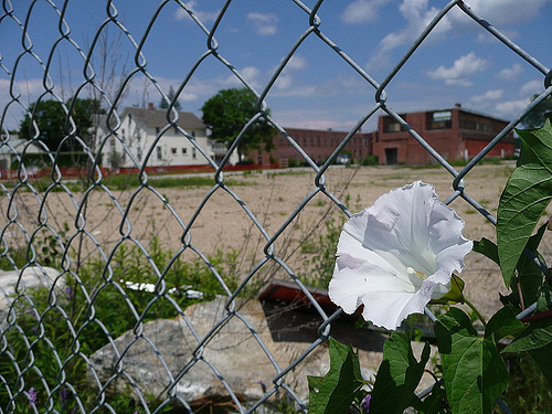 bindweed fence